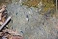 Kimberlite (Gates-Adah Kimberlite Dike, Early Jurassic; Fayette County, Pennsylvania, USA) 15 (48353947387).jpg