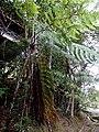 Kinabalu Park, Ranau, Sabah, Malaysia - panoramio (3).jpg