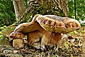 King Bolete (Boletus edulis) (50780087913).jpg