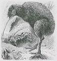 Kiwi-Apteryx.jpg