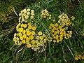 Klinkenbergplas - Boerenwormkruid (Tanacetum vulgare).jpg