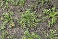 Kluse - Lepidium meyenii - Maca 05 ies.jpg