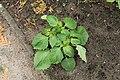 Kluse - Physalis philadelphica - Tomatillo 27 ies.jpg