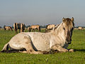 Konikpaard hengst in het Lauwersmeer gebied.jpg
