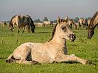 Konikpaard veulen in het Lauwersmeer gebied.jpg
