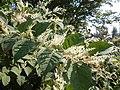 Korina 2011-09-11 Fallopia japonica.jpg