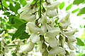 Korina 2014-05-18 Robinia pseudoacacia.jpg