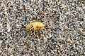 Krabbe am Strand Naturschutzgebiet Graswarder.jpg