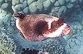 Kugelfisch; Arothron diadematus; Masked puffer.DSCF3596OB.jpg
