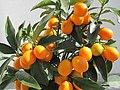 Kumquats Zwergorangen schmecken super lecker und sind komplett mit Schale essbar - panoramio.jpg