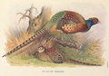 Kweichow Pheasant by H. Jones.png