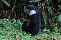 L'Hoest's monkey (Cercopithecus lhoesti) feeding.jpg