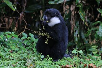 L'Hoest's monkey - feeding, Bwindi Impenetrable Forest, Uganda