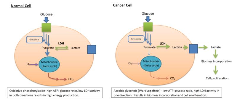 lactate dehydrogenase - wikiwand, Skeleton