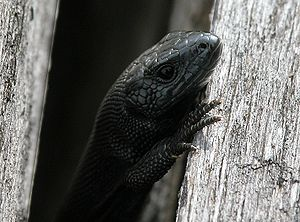 Viviparous lizard - Melanistic specimens are typical for the Großer Feldberg mountain in Germany