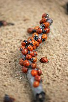 Ladybugs on Jurmala beach.jpg