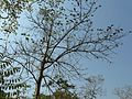 Lahan Karmal (Konkani- लहान करमल) (3263148650).jpg