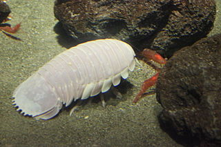 Giant isopod genus of crustaceans