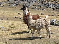Llamas en el Altiplano andino