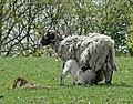 Lambing season - geograph.org.uk - 1282181.jpg