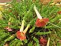 Lamiales - Ourisia polyantha - 2.jpg