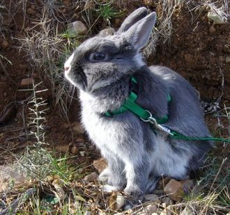 A 9-month-old dwarf house rabbit visiting the outdoors with a harness and leash Lapin nain 01.jpg