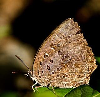 <i>Arhopala amantes</i> species of insect