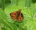 Large Skipper (35416526103).jpg