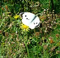 Large White Butterfly in Bramshott Bottom - geograph.org.uk - 968422.jpg