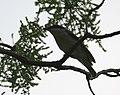 Large Woodshrike (Tephrodornis pondicerianus) at Jayanti, Duars, WB W IMG 5224.jpg