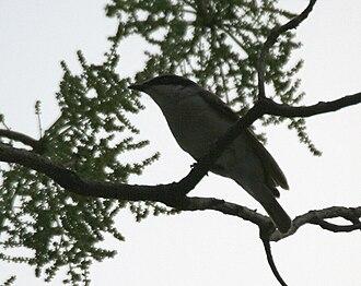 Large woodshrike - Image: Large Woodshrike (Tephrodornis pondicerianus) at Jayanti, Duars, WB W IMG 5224