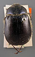 Lasiocala arrowi paratype 1 dorsal.jpg