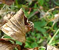 Lassioglossum sp^ plus Heteropteran-(bottom left). Lygaeidae^, Miridae - Flickr - gailhampshire.jpg