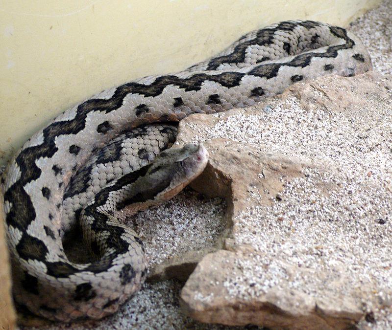 Lataste's viper.jpg