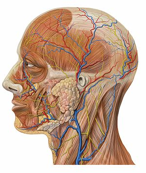 Facial vein - Image: Lateral head anatomy detail