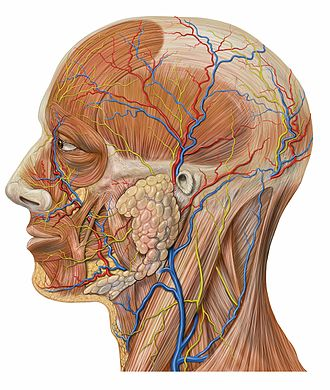 Angular vein - Image: Lateral head anatomy detail
