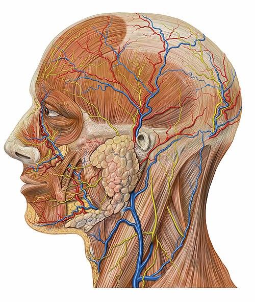 Posterior auricular vein - Wikiwand