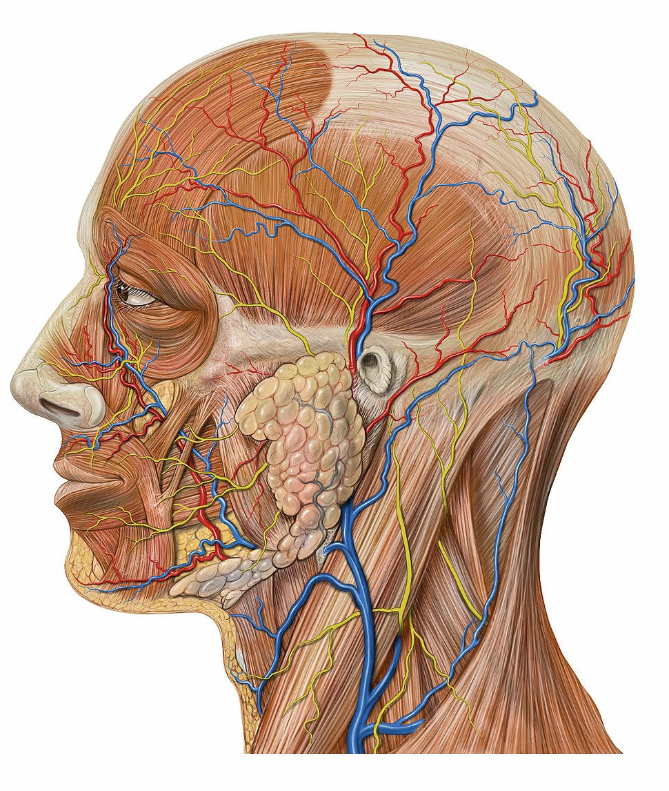 Lateral head anatomy detail