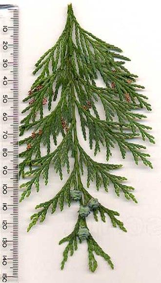 Chamaecyparis lawsoniana - Image: Lawsons Cypress