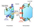 Le récepteur GABAB dans la synapse.png