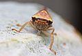 Leafhopper (Cicadellidae) (32680235936).jpg