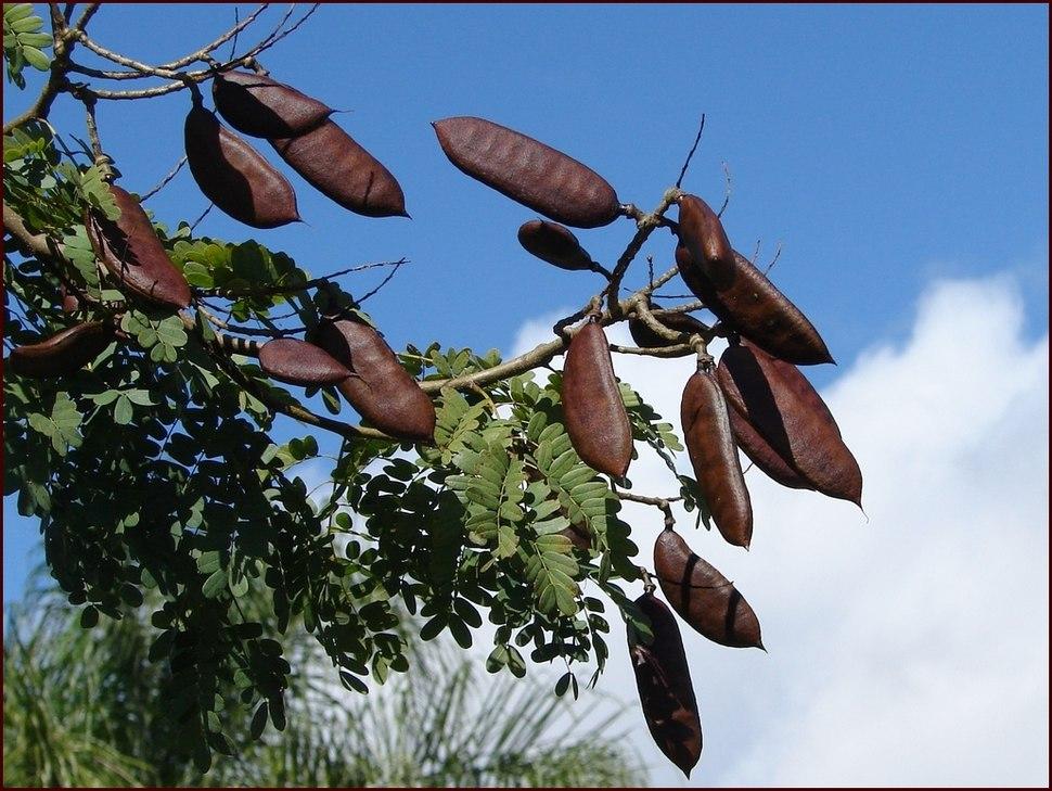 Legume fruits of %27Leopard tree%27 (Caesalpinia ferrea) (3614079116).jpg