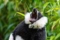 Lemur (24169313758).jpg