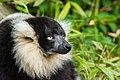 Lemur (27618533848).jpg