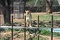 Leoa Zoo-Botânica de BH - MG.jpg