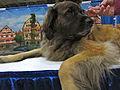 Leonberger dog (8109954546).jpg