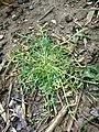 Lepidium squamatum sl88.jpg