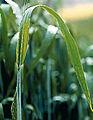 Les Plantes Cultivades. Cereals. Imatge 101.jpg