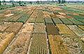 Les Plantes Cultivades. Cereals. Imatge 156.jpg