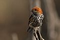 Lesser Striped Swallow, Cecropis abyssinica at Pilanesberg National Park, South Africa (29768952515).jpg